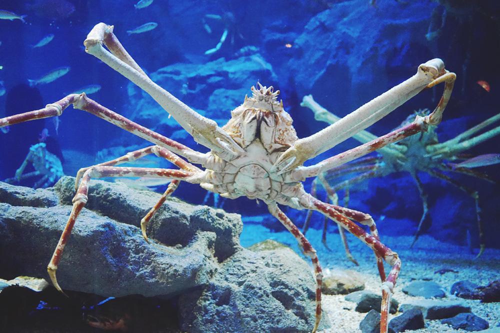 Japanese Crab Spider Bite of Japanese Spider Crabs