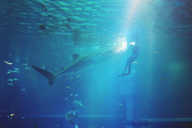whaleshark_feeding