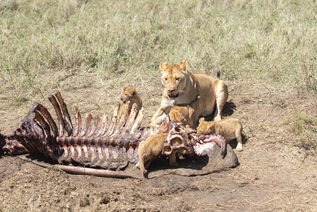 lion_cubs_2