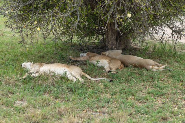 lionssleeping